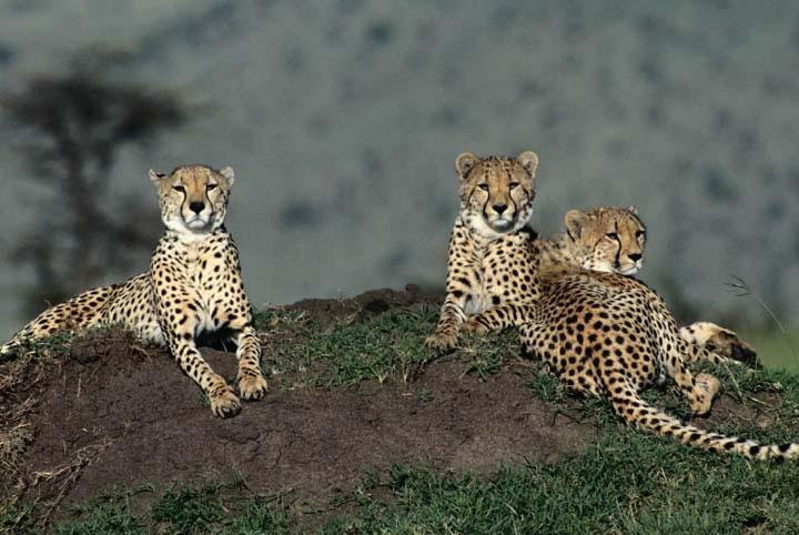 猫科动物,王者之风-猎豹!