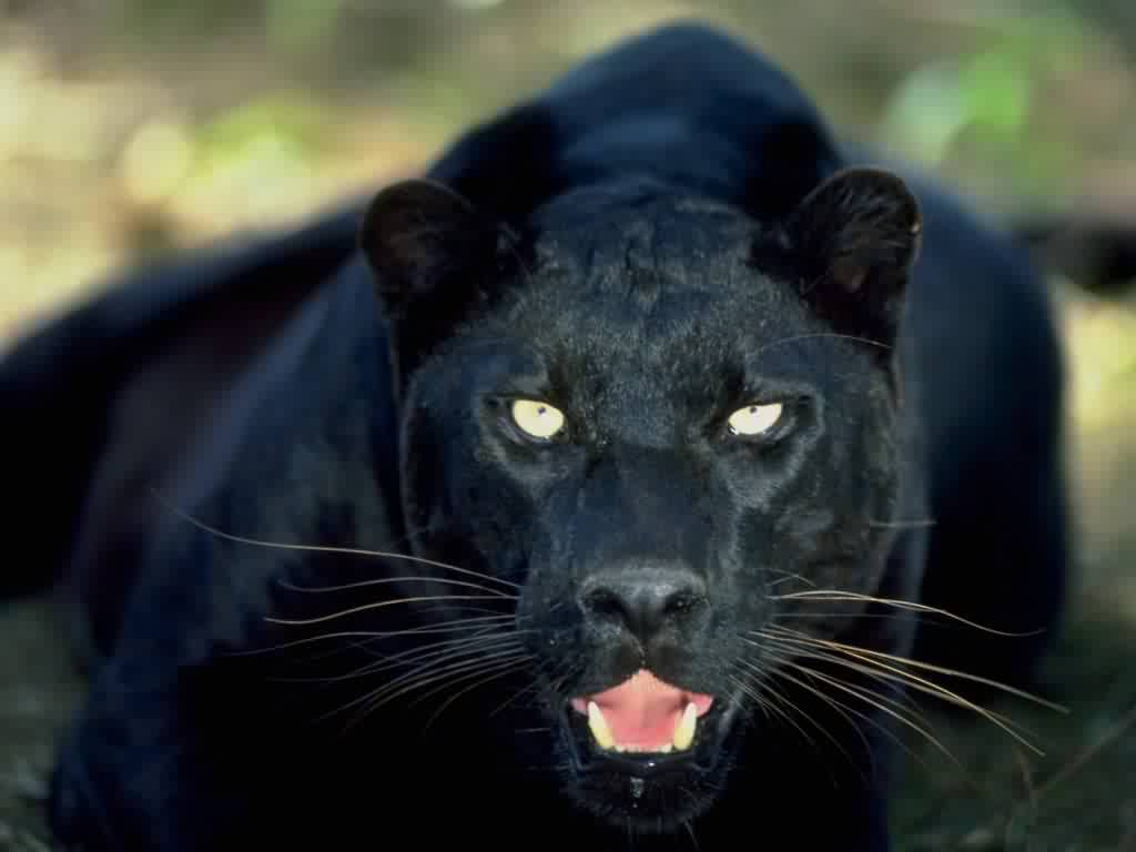 猫科动物,王者之风-美洲虎!