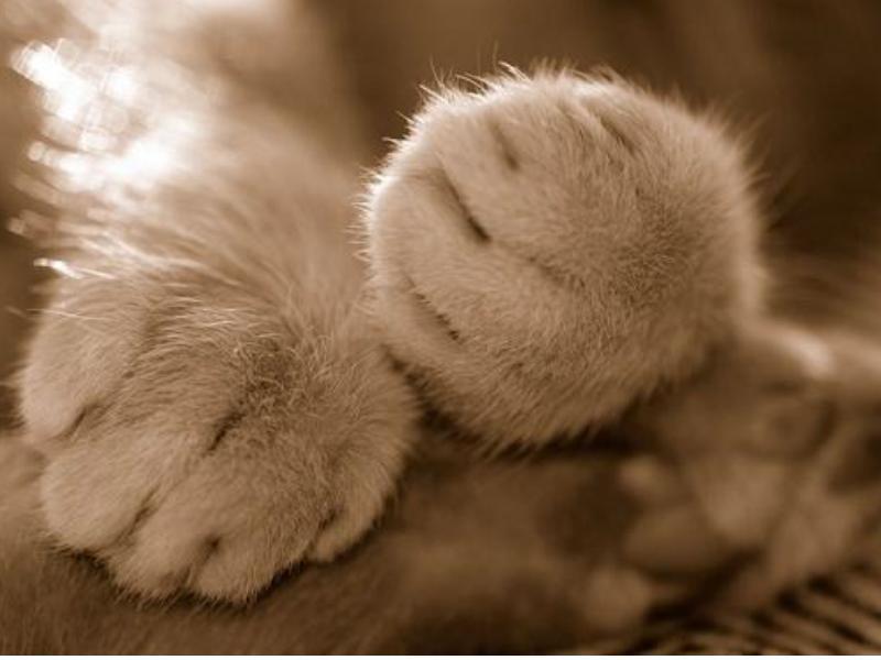 """为什么叫猫爪控? ^@^上; 猫咪的爪爪; 可爱的猫""""爪""""(组图)"""